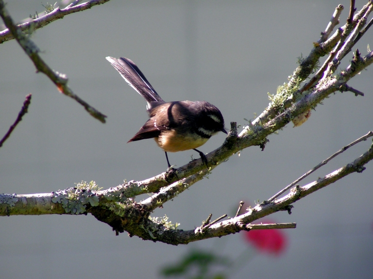 fantail-of-new-zealand-2-1406817-1278×985